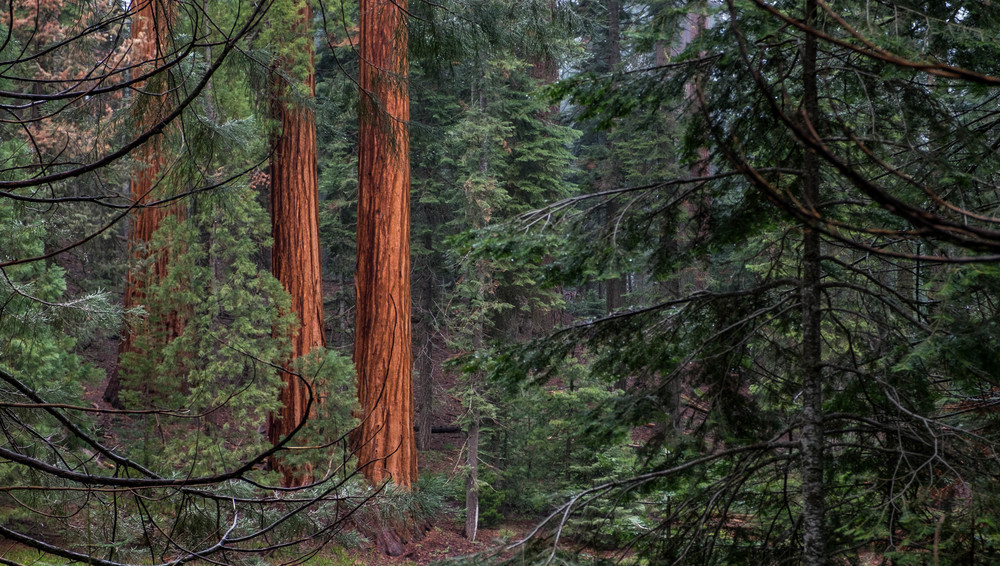 You'll know as you begin to enter the Giant Forest from the warm color and the massive size of the sequoia trees.