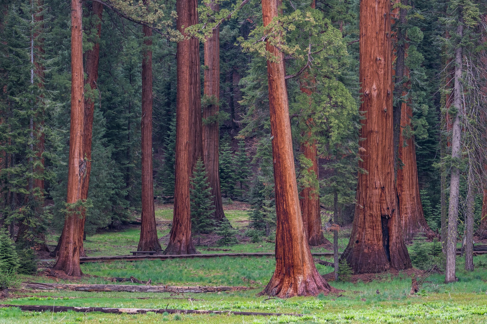 Sequoia everywhere. This area represents the ideal conditions for these big trees.