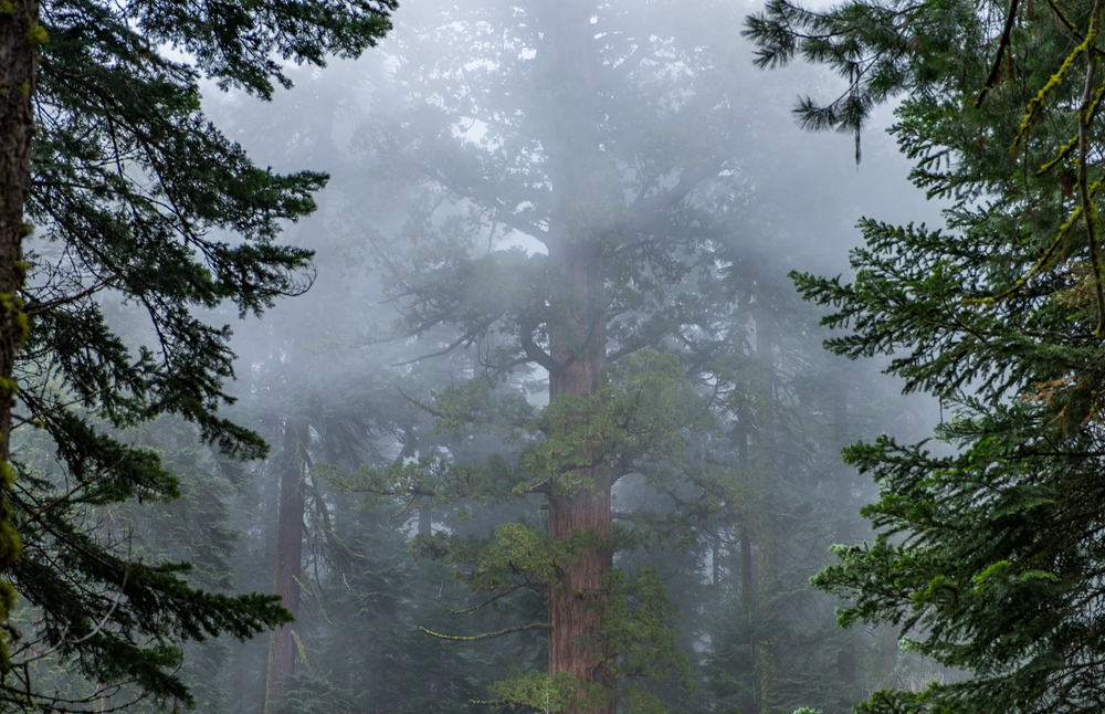 We can't get enough of these giant sequoia in the fog.