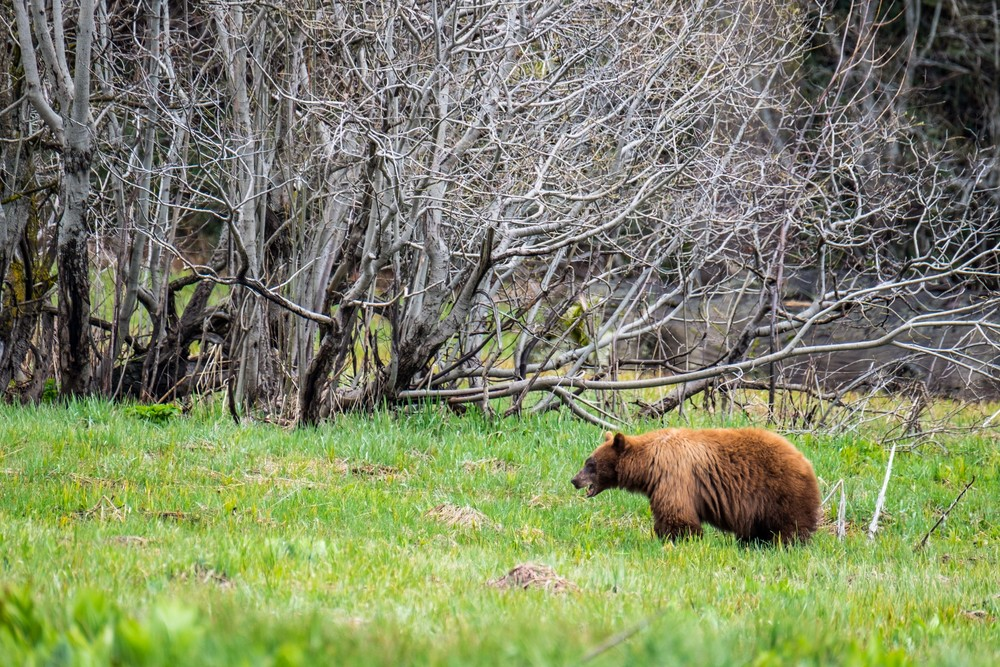 A black bear grazes in Log Meadow.