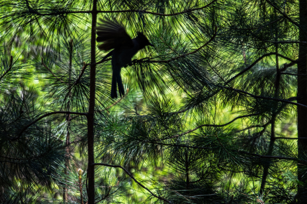 A Blue Jay silhouetted in the shrubs.