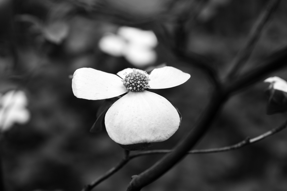 I love the dogwoods in black and white.