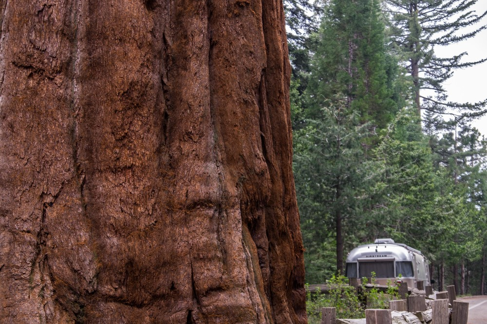 Wally dwarfed beneath the giant Sequoia trees.