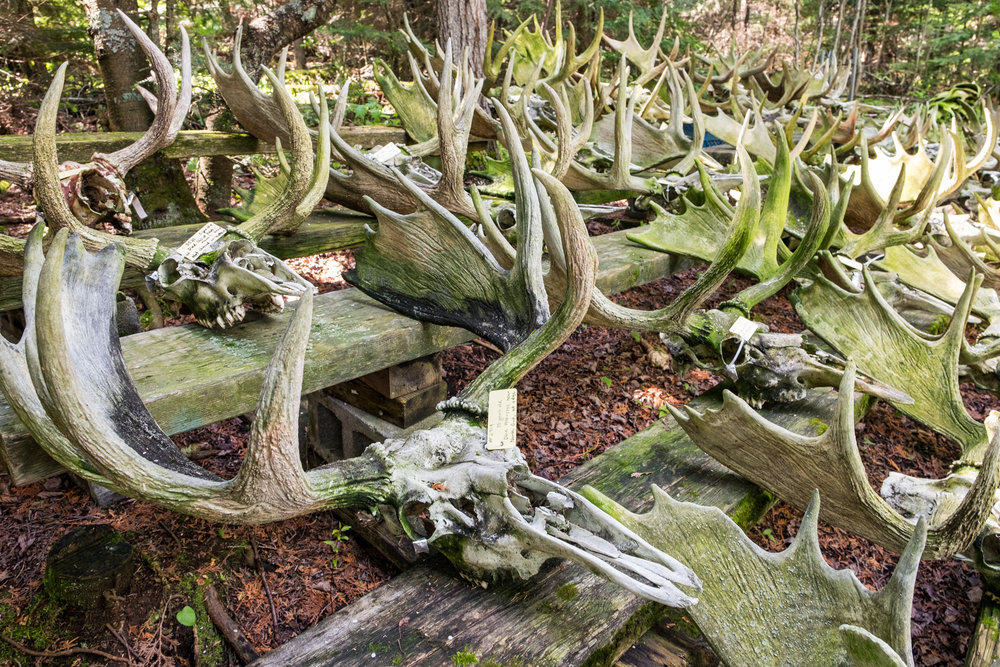 "The most famous, and eery, part of any visit to see Rolf is the vast collection of moose skulls he has on display in the backyard. He refers to  this place as ""The Boneyard""."