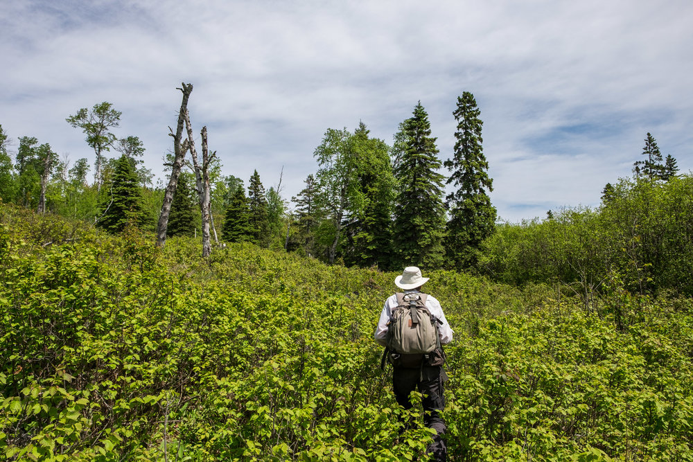 Bushwhacking with Rolf Peterson in search of Isle Royale's famed moose!