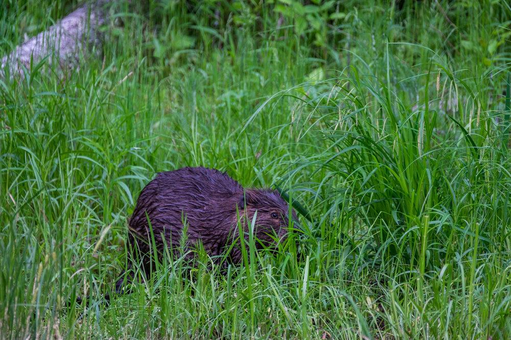 20160608-JI-Voyageurs National Park-_DSF7371.jpg