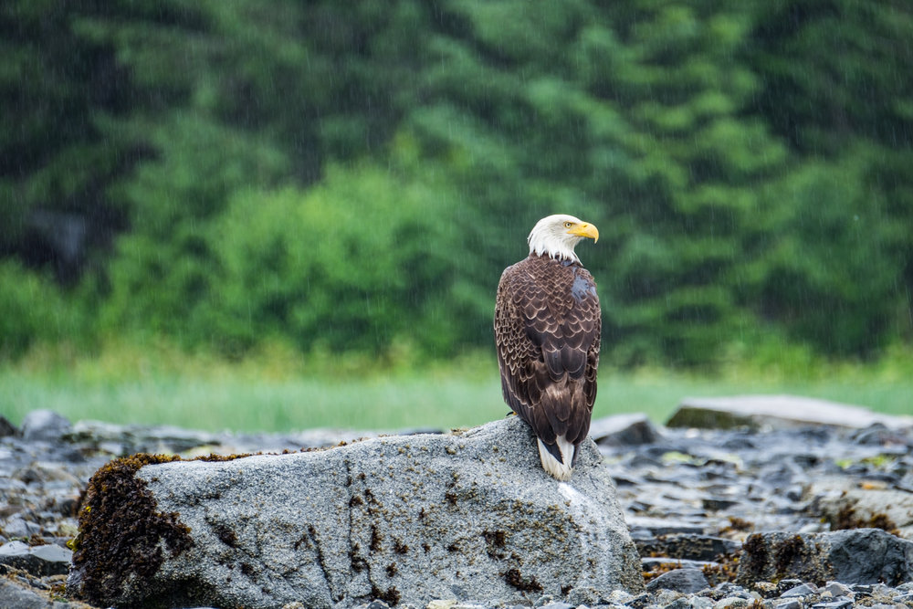 Eagles don't care much about rain...they still look majestic.