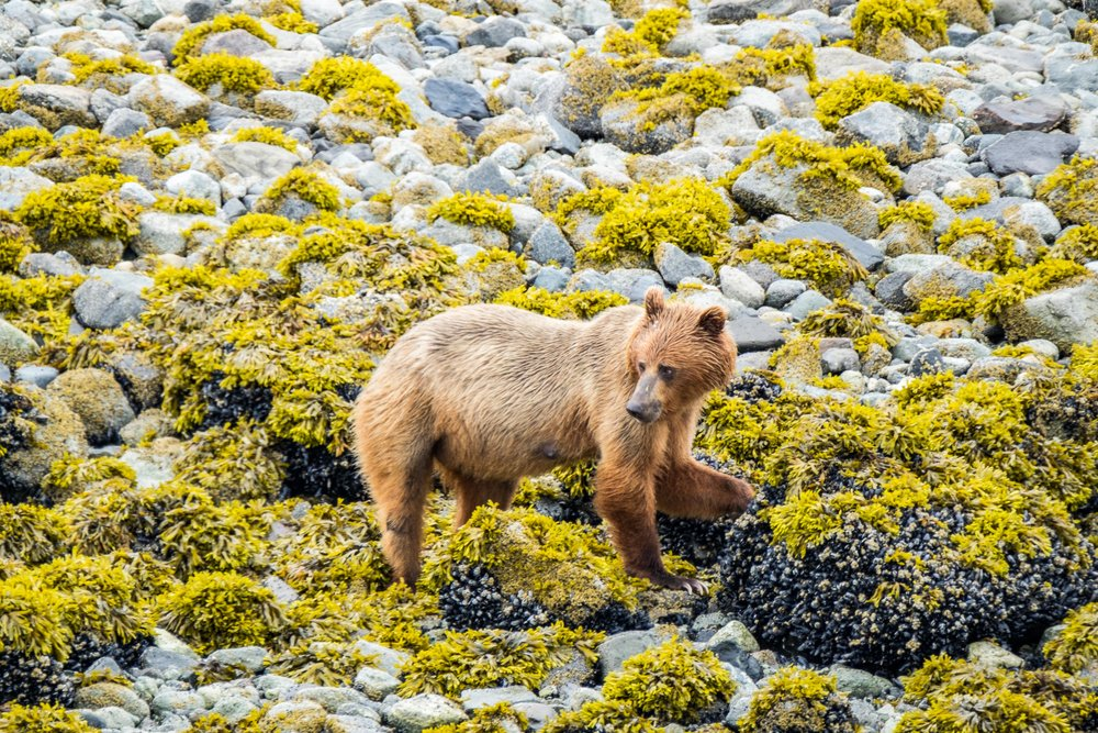 A brown bear seeks her nightly feast at low tide in Glacier Bay, Alaska.