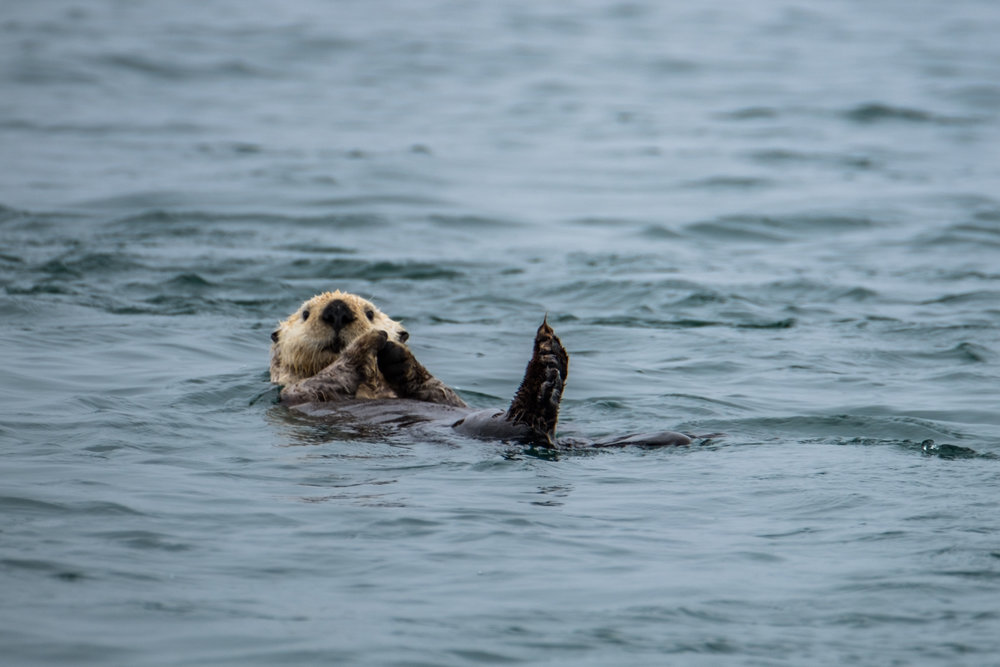 A sea otter in Glacier Bay kicks back in usual form.