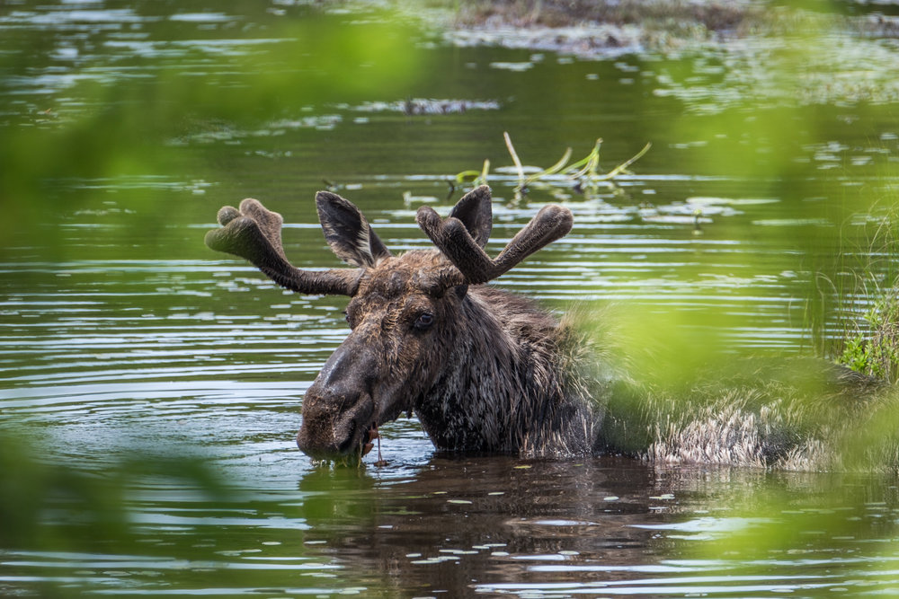 We watched as the moose waded in the water and fed off the abundant waterplant life.