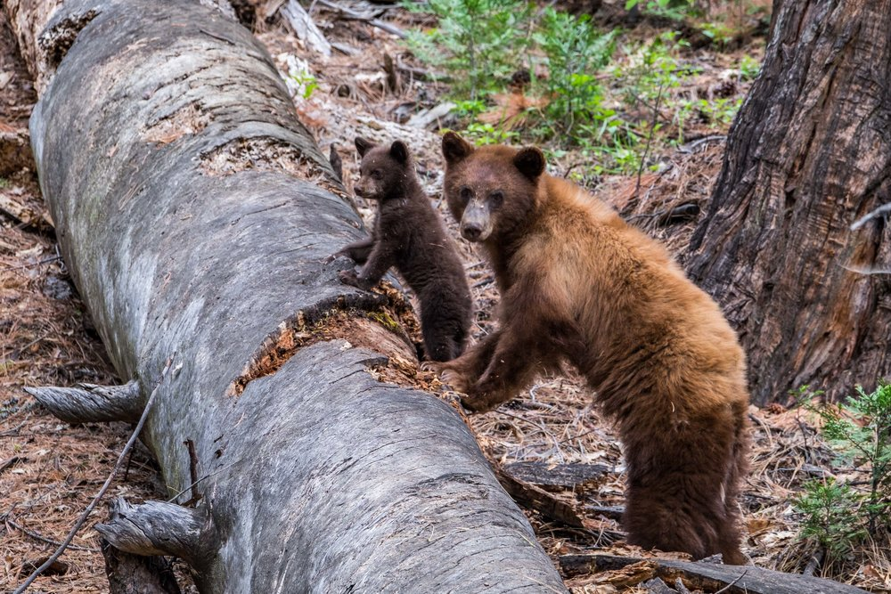 Black bear sow and her cub in Yosemite National Park in California.