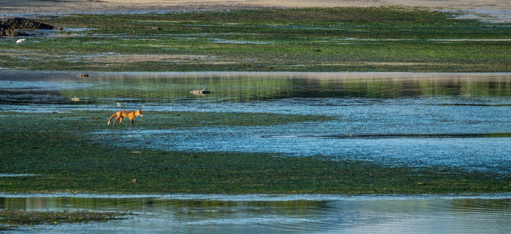 A red fox explores the shore outside of the Katmai Wilderness Lodge in search of food from the sea.