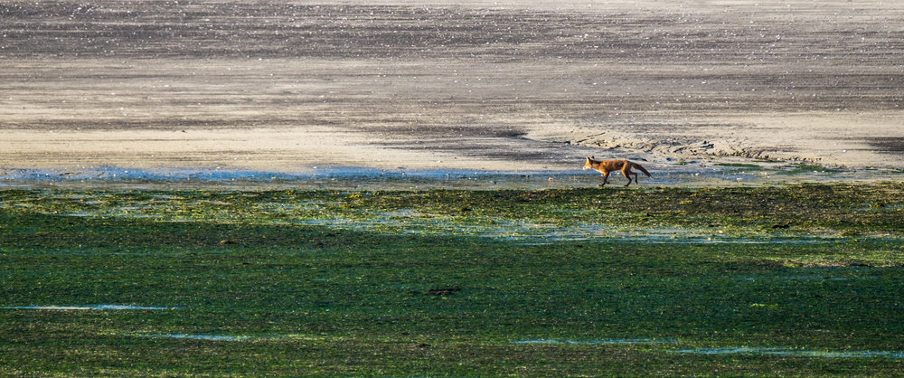 Back at the Katmai Wilderness Lodge, the foxes are out hunting while the tide is out.