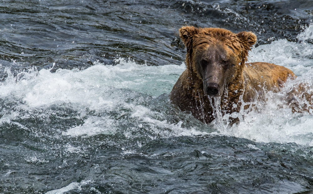 The bears are not afraid to go diving for salmon.