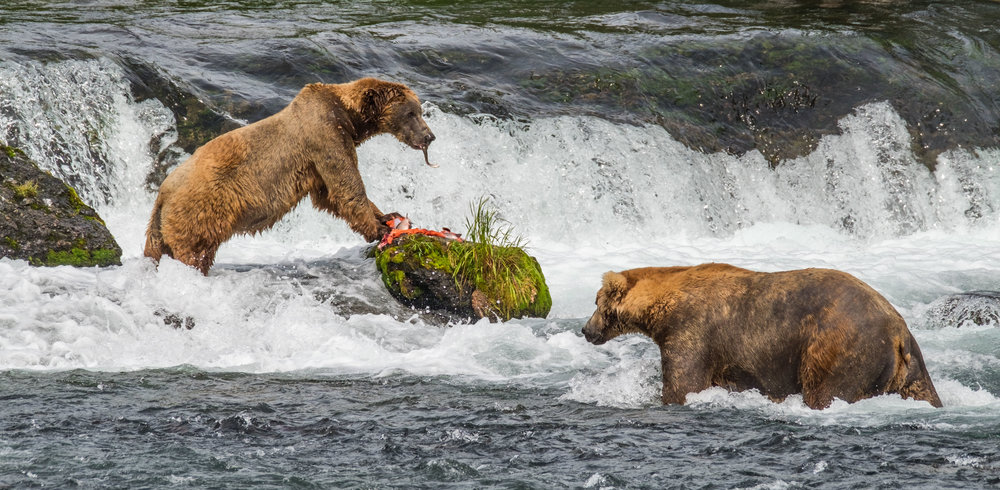 Two large boars feed on salmon at Brooks Falls in Katmai National Park and Preserve in Alaska.