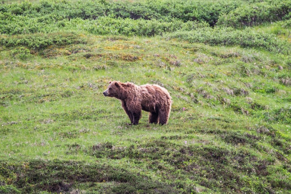 A grizzly roaming the tundra in Denali National Park.