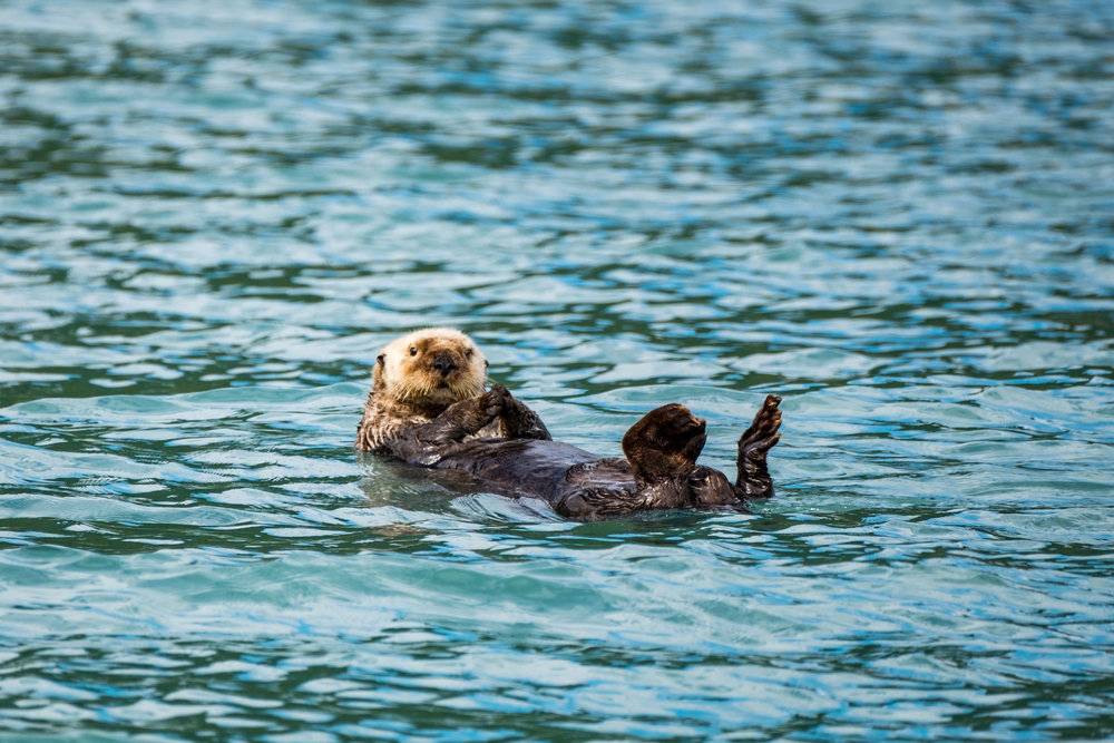 Sea otter in Katmai National Park.