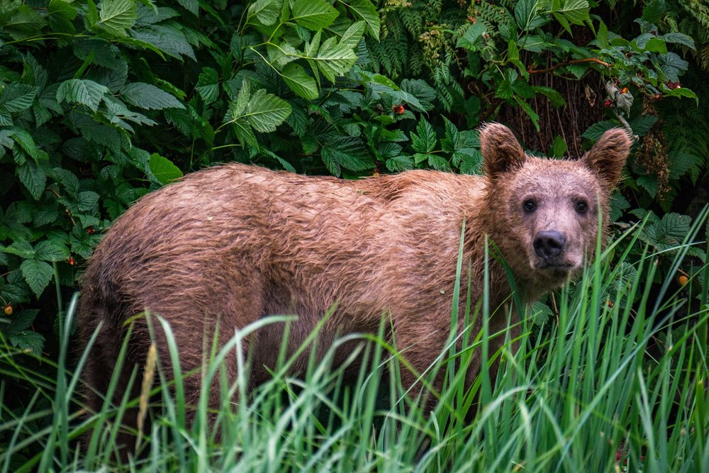 A juvenile bear sizes us up near the Katmai Wilderness Lodge. Check out his sniffer.