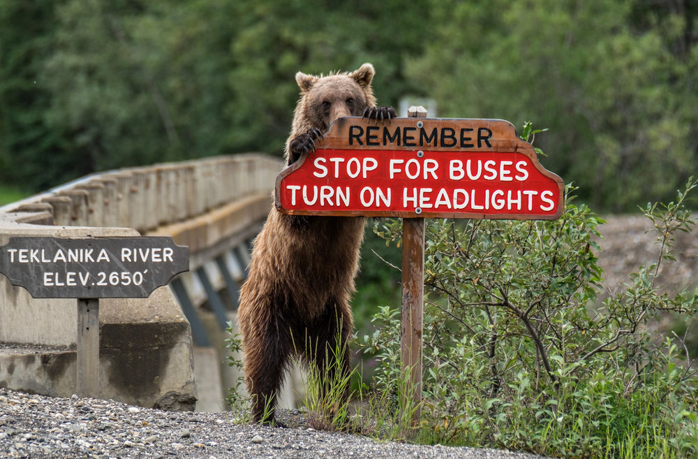 A grizzly bear reminds motorists to obey road rules in Denali National Park in Alaska.