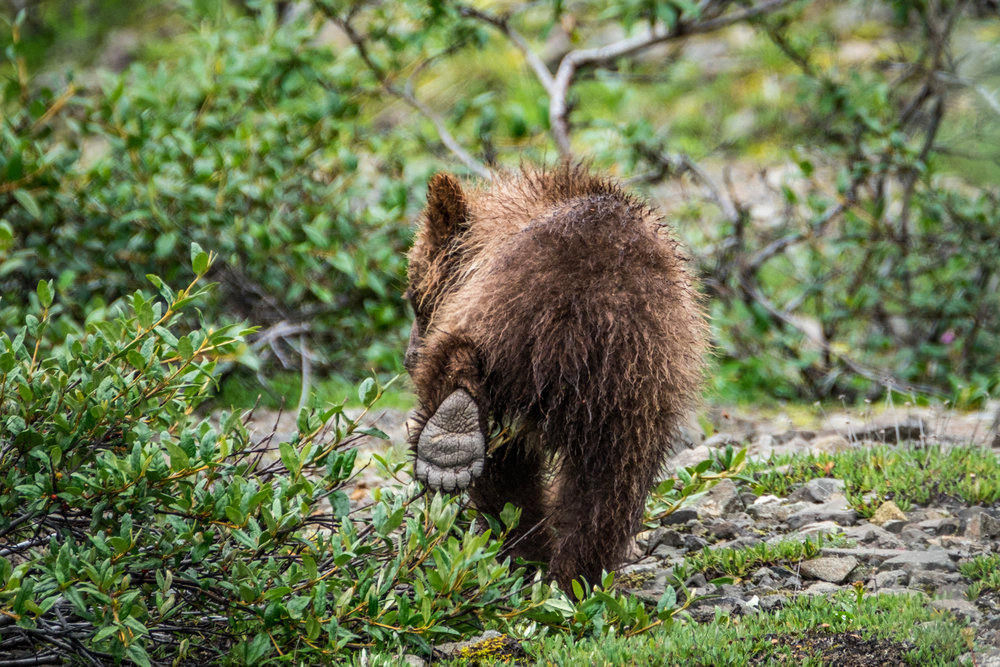 A grizzly cub walks softly in his protected home in Denali National Park.