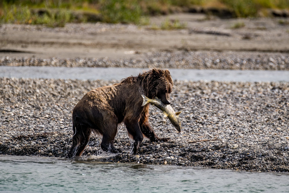 But first, let's watch this grizzly catch a salmon.