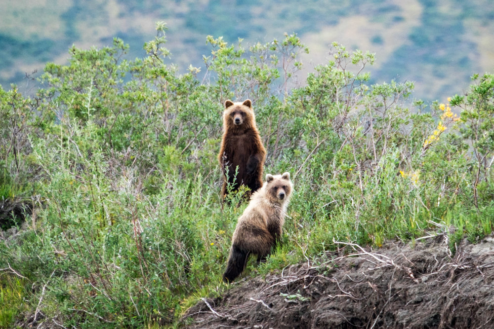 Grizzly cubs curiously watch us paddle by.
