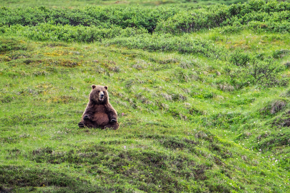 Grizzly bear in Denali National Park in Alaska.