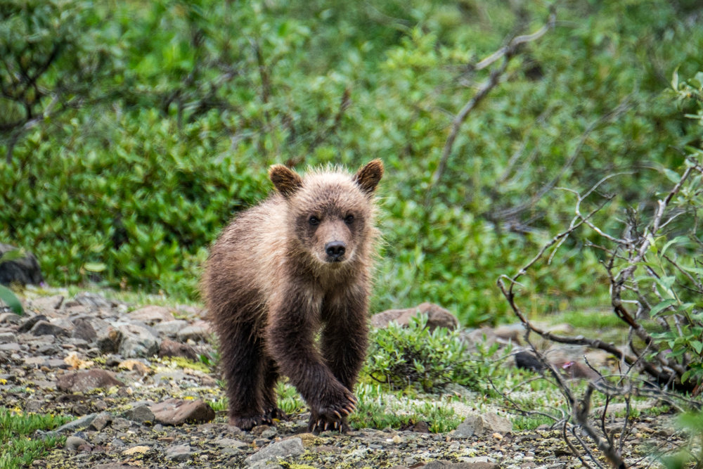 Grizzly cub in Denali National Park in Alaska.
