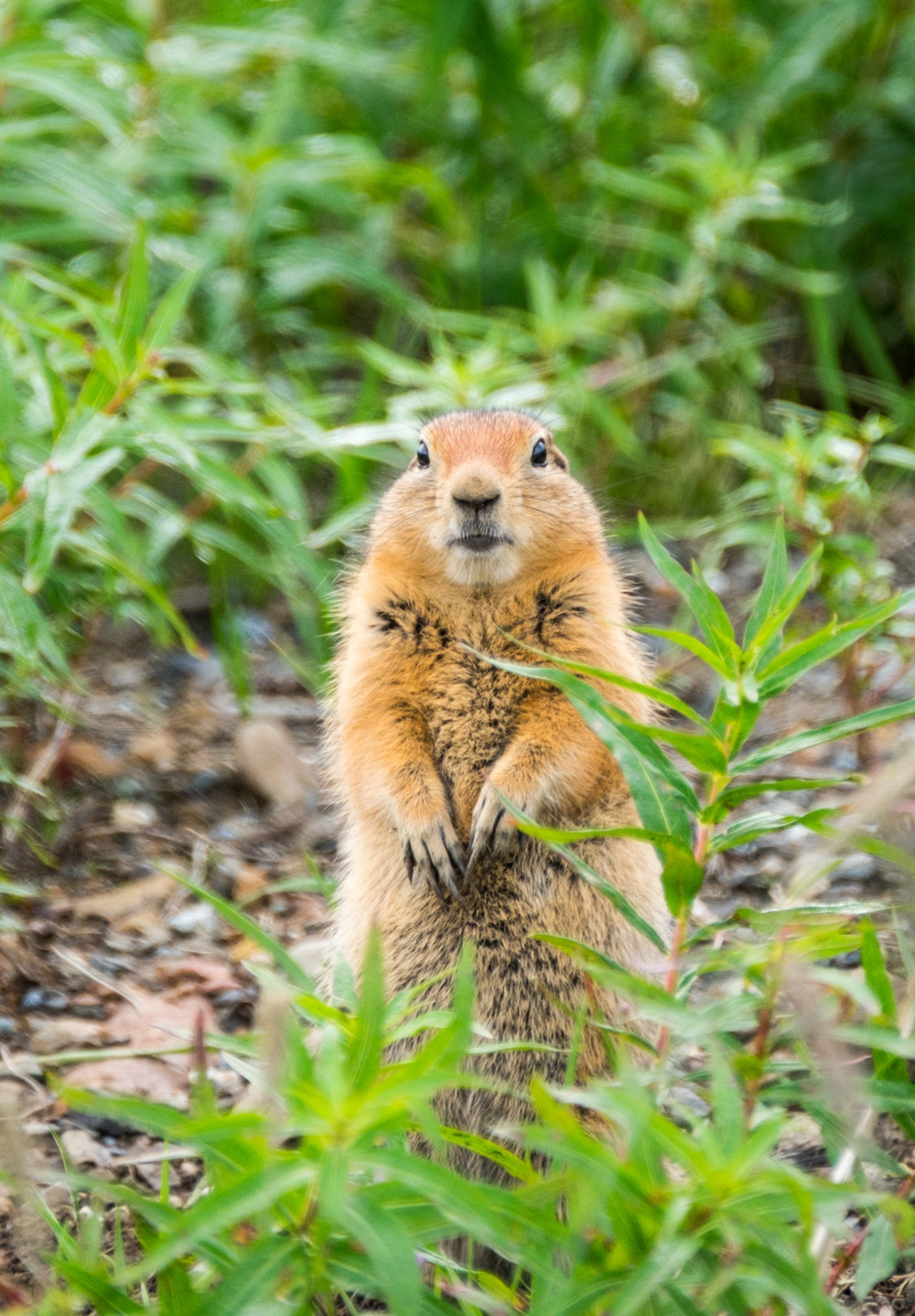 Arctic Ground Squirrel in Denali National Park in Alaska.