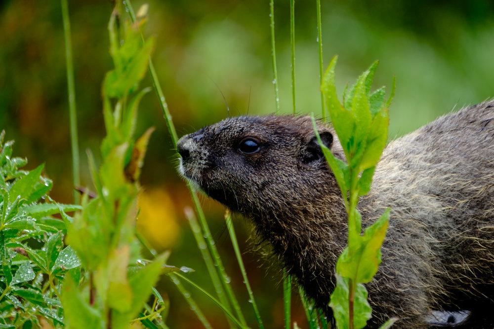 A mountain marmot!