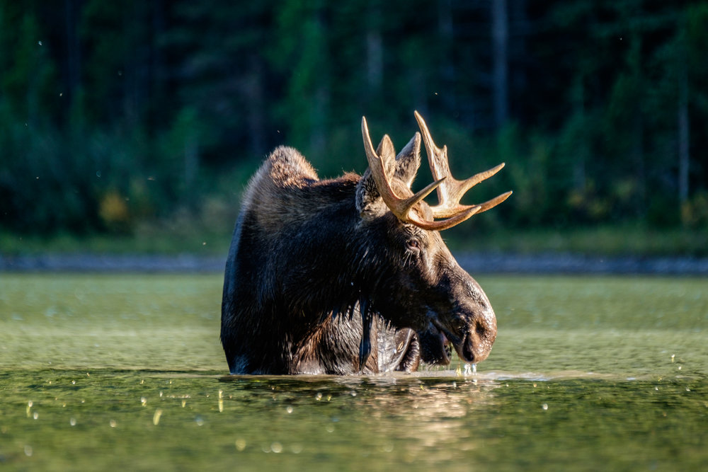Just a short and easy hike on the Swiftcurrent Nature Trail from the very popular Many Glacier Campground will bring you to Fishercap Lake, one of the best places in the national park to watch moose feeding in their natural habitat. Pictured here is a young bull moose, eating aquatic grasses in the center of the lake.