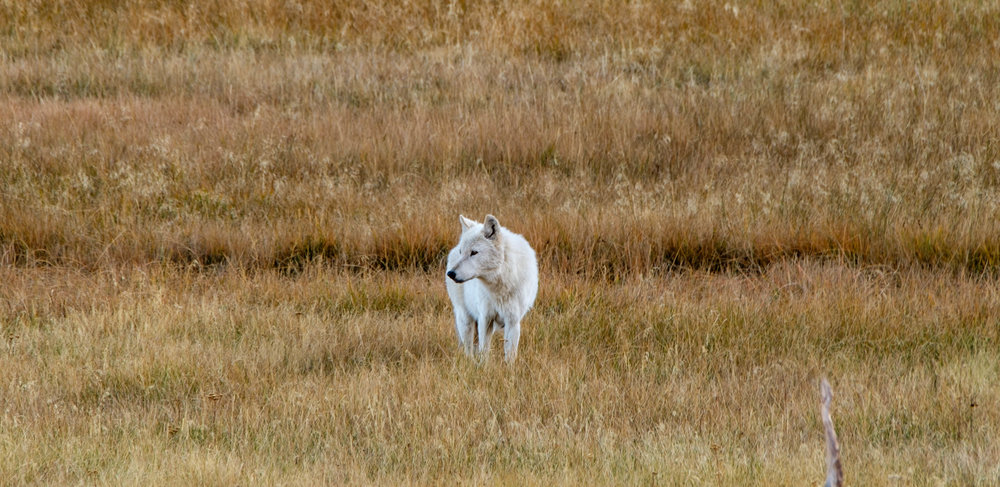Wolves are not easy to spot in the park, so you can imagine how excited we were to encounter this beautiful white wolf one late afternoon.
