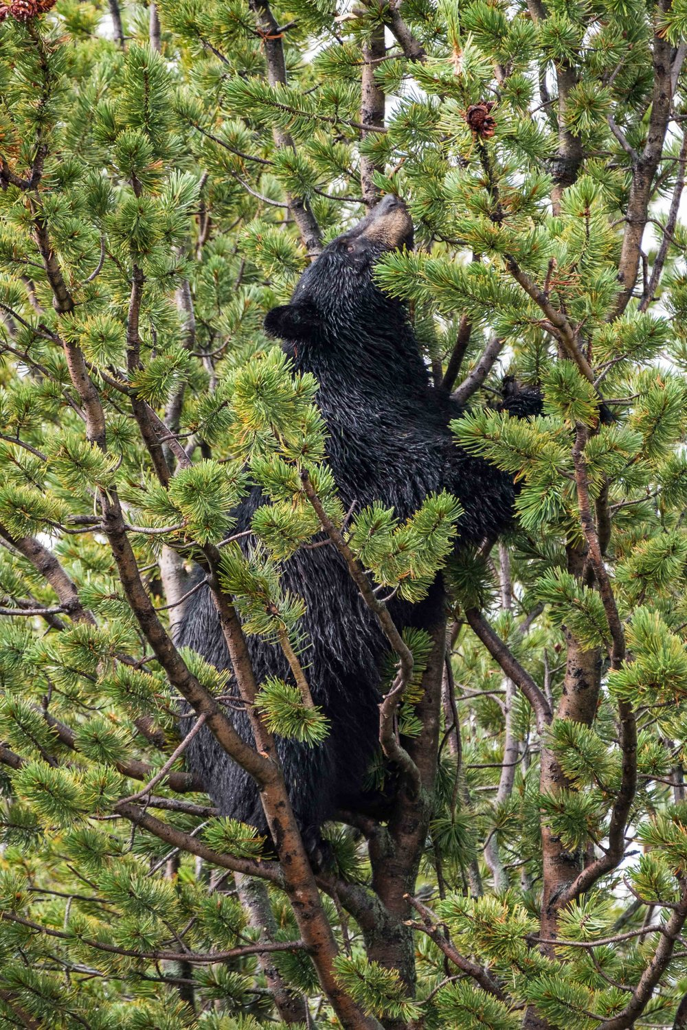 Black bears climb pine trees to get the delicious pinecones.