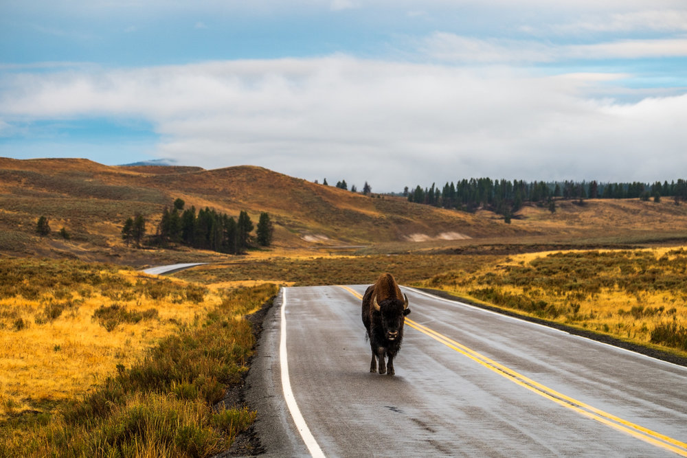 Share the Road  doesn't always extend to cyclists. Our sunrise drive in the Grand Loop Road Historic District was met by a small group of bison, this one taking a morning stroll.