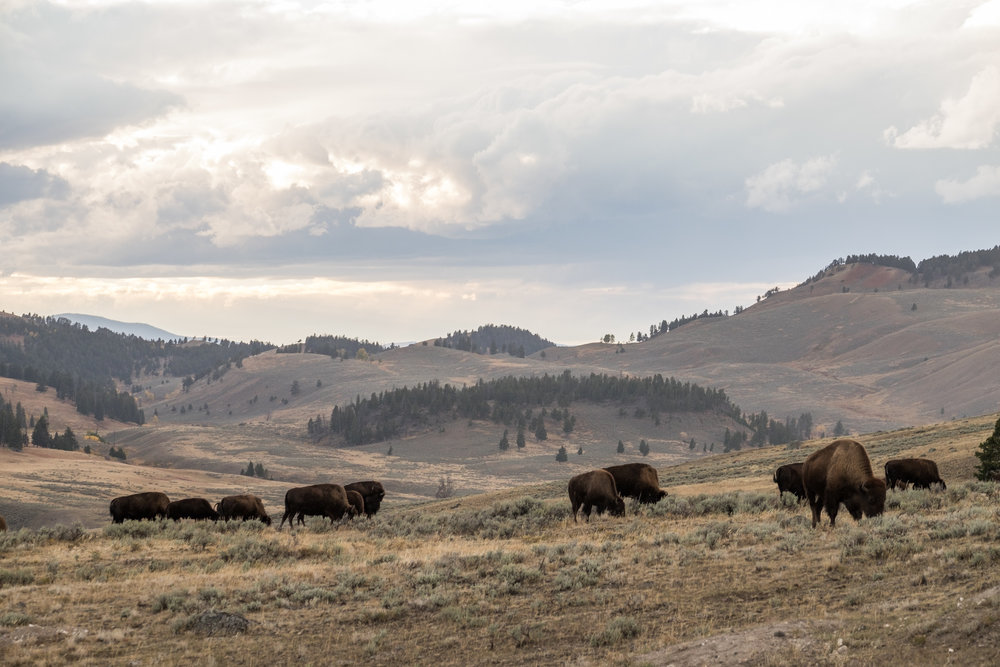 The great American bison roams a painted landscape in the lowlands of Yellowstone National Park.