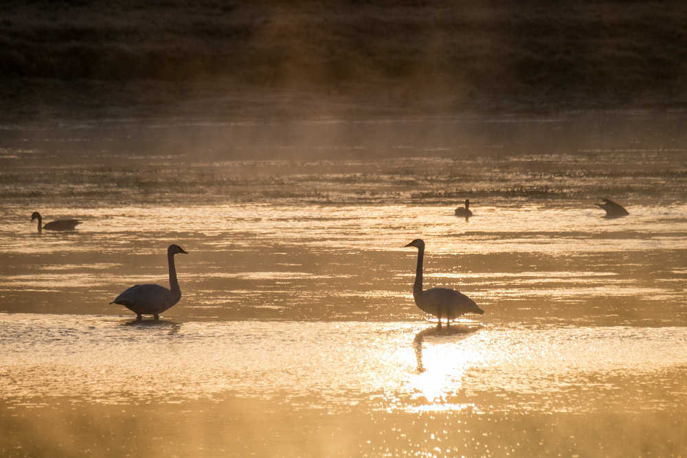 Canadian geese in Yellowstone.