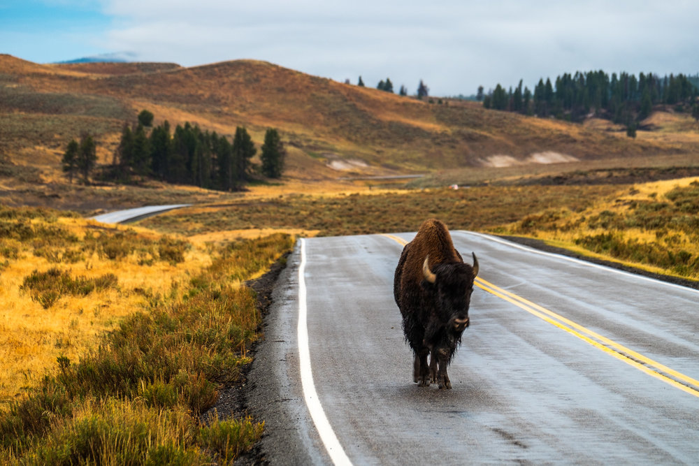 American bison in Yellowstone.