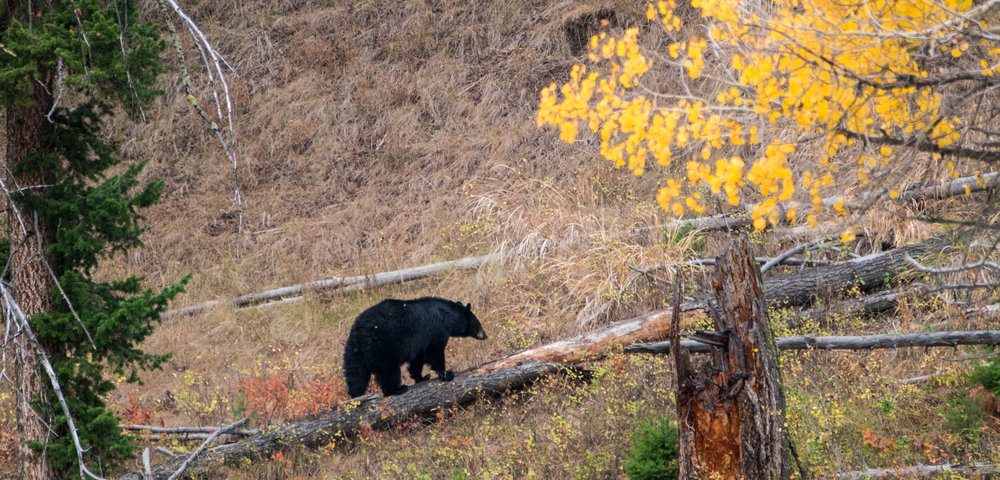 Black bear in Yellowstone.