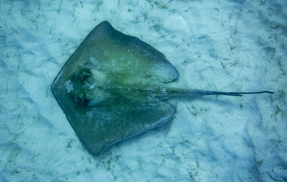 Sting Ray in Virgin Islands National Park