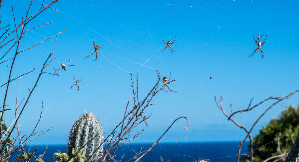 Banana spiders at Virgin Islands National Park