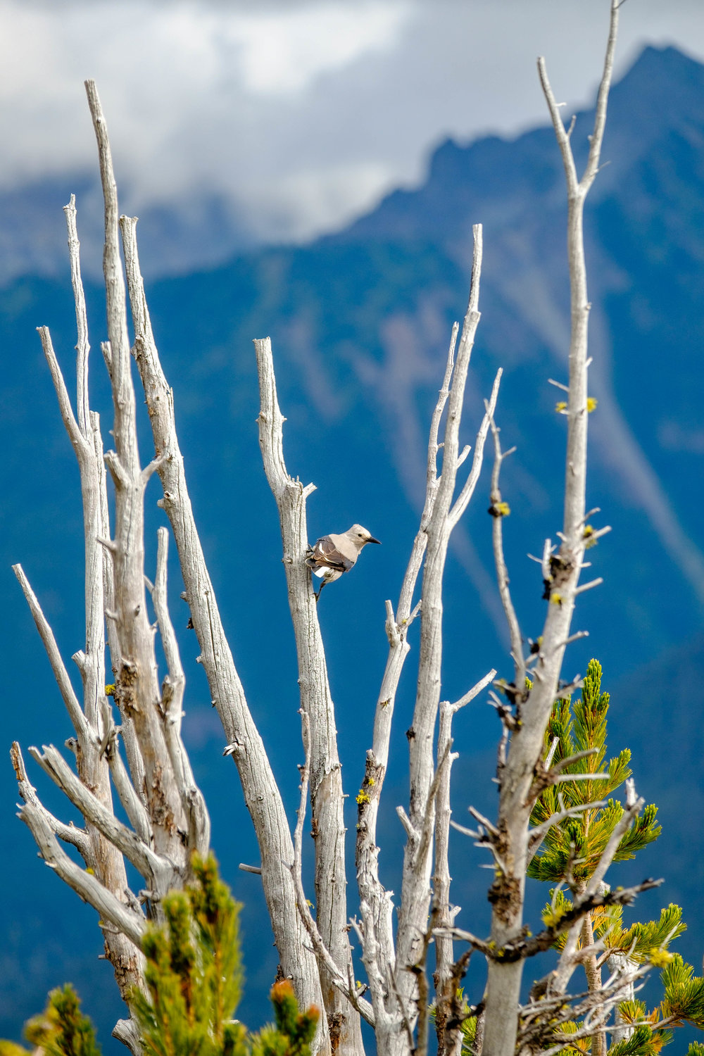 Clark's Nutcracker in Mount Rainier National Park in Washington.
