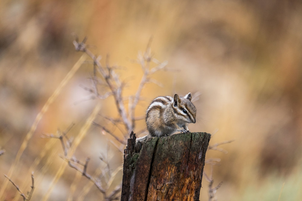 This little chipmunk greeted us, and posed for a few minutes, atop a small tree stump.