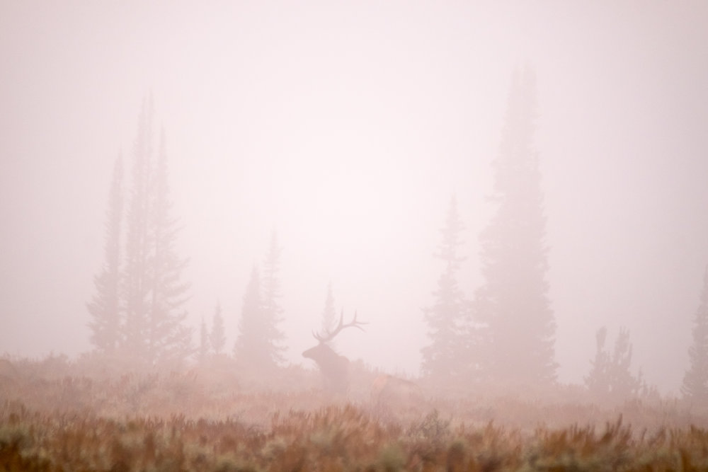Misty morning elk spotting around Jenny Lake.