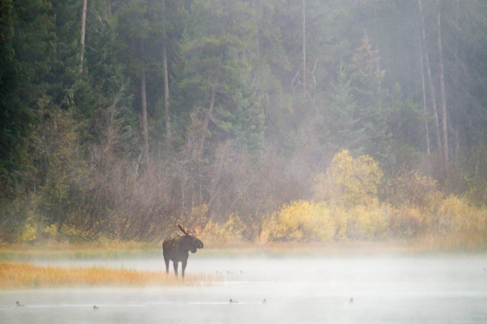A bull moose stands in the mist around Two Ocean Lake.