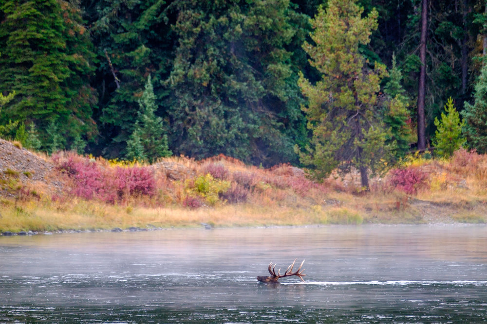 An elk crossing the Snake River.