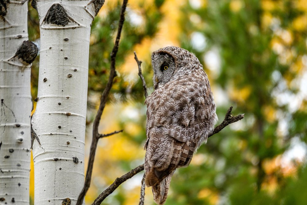 Great Gray Owl in the Grand Tetons.