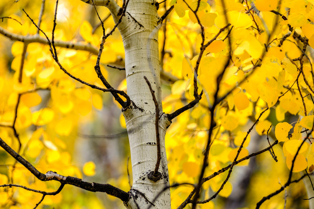 Colors burst from aspen trees throughout the park.