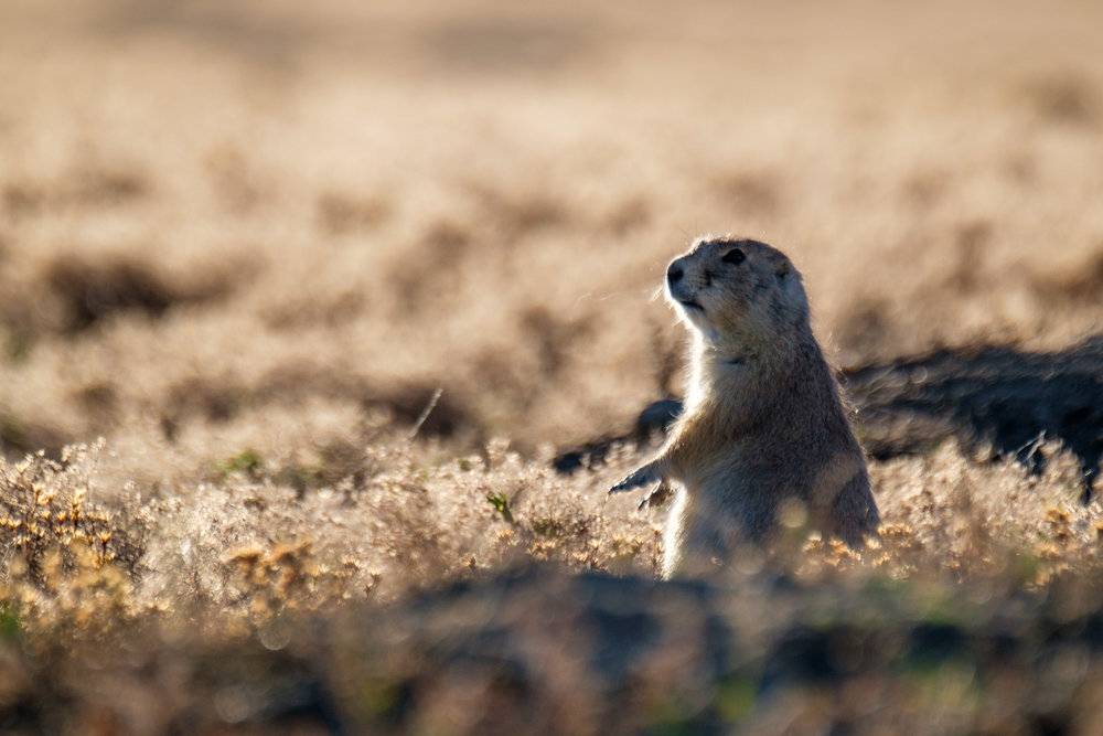 A prairie dog pops up out of his burrow to see what's happening.