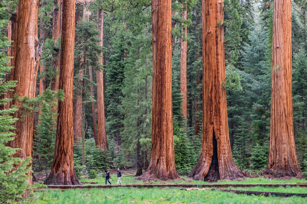 Wandering among the largest trees in the world at Big Trees Trail in Sequoia. Shot with FUJIFILM X-T1.