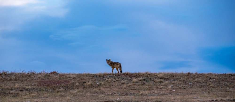 Lots of coyotes on the South Dakota plains.